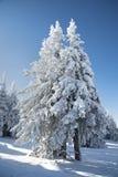 Härliga snö-täckte träd på en solig dag Royaltyfria Bilder