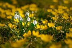 Härliga snödroppar mellan gula blommor under första dagar av Royaltyfri Foto