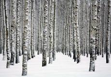 Härliga snöig stammar av björkträd i vinterskog royaltyfri fotografi