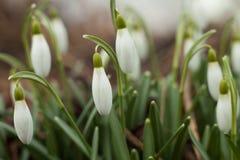 härliga snowdrops Det första tecknet av våren Royaltyfri Bild