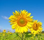 Härliga solrosor Arkivfoto