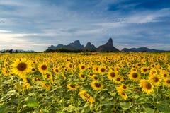 härliga solrosor Fotografering för Bildbyråer