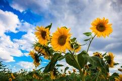 härliga solrosor Arkivbilder