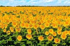 härliga solrosor Arkivfoton