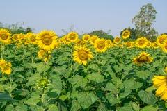 härliga solrosor Royaltyfri Fotografi