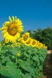 härliga solrosor Arkivbild