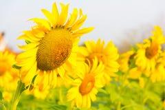 Härliga solrosor Royaltyfria Foton