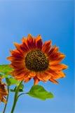 härliga solrosor för blå sky Royaltyfria Bilder