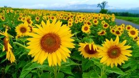härliga solrosor för fältliggandesommar royaltyfri bild