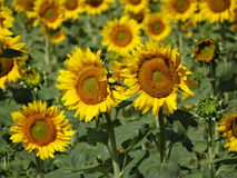 härliga solrosor för fältliggandesommar Royaltyfria Foton