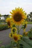 Härliga solrosor i det offentligt parkerar royaltyfria bilder