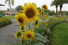 Härliga solrosor i det offentligt parkerar royaltyfri foto