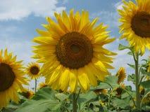 Härliga solrosor i sommartid Arkivbilder