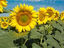 Härliga solrosor med biet arkivbilder