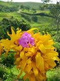 Härliga solrosor med purpurfärgade blommor tillfogade royaltyfri foto