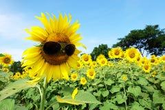 Härliga solrosor med solglasögon Royaltyfria Bilder
