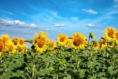Härliga solrosor och landskap Royaltyfria Foton