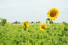 Härliga solrosor på bakgrundsfältet Arkivfoton