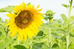Härliga solrosor på bakgrundsfältet Fotografering för Bildbyråer