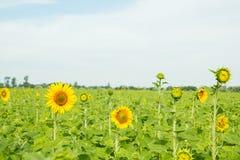 Härliga solrosor på bakgrundsfältet Royaltyfri Bild