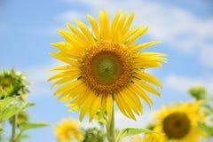 Härliga solrosor på blå himmel Royaltyfri Foto