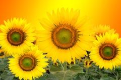 Härliga solrosor som blommar i fältet Arkivfoton