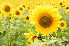 Härliga solrosor som blommar på fältet Royaltyfria Foton