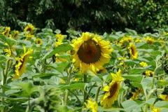 Härliga solrosor som står högväxta i ett fält Arkivfoto