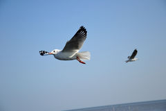 Härliga ställen för Seagull i smällbajset Thailand Arkivfoton