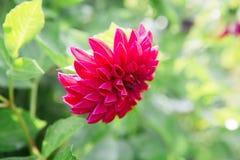 Härliga stora lilor blommar på grön suddig bakgrund dahlia Royaltyfria Foton
