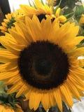härliga stora solrosor Royaltyfri Bild