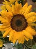 härliga stora solrosor Royaltyfria Foton