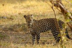 Härliga stora Tom Leopard Royaltyfria Foton