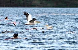 Härliga stora vita pelikan i flykten Arkivbild