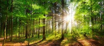 Härliga strålar av solljus i en grön skog royaltyfria bilder