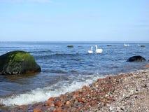Härliga svanar i det baltiska havet, Litauen fotografering för bildbyråer