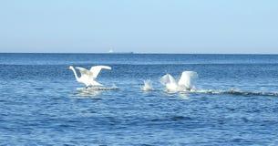 Härliga svanar i det baltiska havet, Litauen arkivfoton
