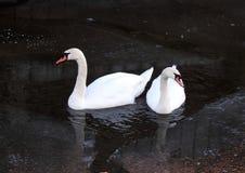 Härliga svanar i floden i vinter, Litauen royaltyfria foton