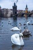 Härliga svanar på den Vltava floden i Prague, Tjeckien royaltyfri foto