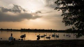 Härliga svanar på sjön på solnedgången i Tjeckien Arkivbilder