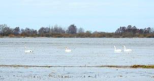 Härliga svanar som svävar på vatten i flodfältet, Litauen arkivbilder