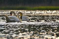 Härliga svangröngölingar på dammet Härlig naturlig kulör bakgrund med vilda djur Vår royaltyfria foton