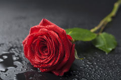 härliga svarta liten droppe över rött rose vatten Fotografering för Bildbyråer