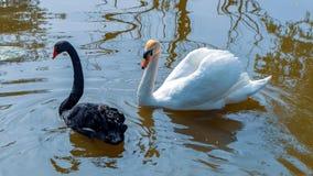 Härliga svartvita svanar royaltyfria bilder