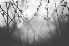 Härliga svartvita vårknoppar arkivfoto