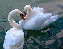härliga swans Arkivbilder