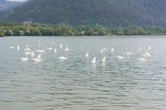 Härliga swans Royaltyfri Fotografi