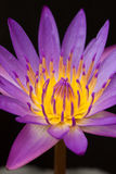 härliga täta lotusblommar up violeten Fotografering för Bildbyråer