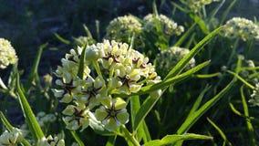 Härliga Texas Native Flowering Plant royaltyfri bild