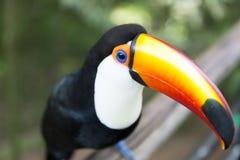 Härliga Toco Toucan royaltyfri fotografi